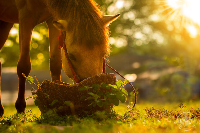 horse eating out of bucket