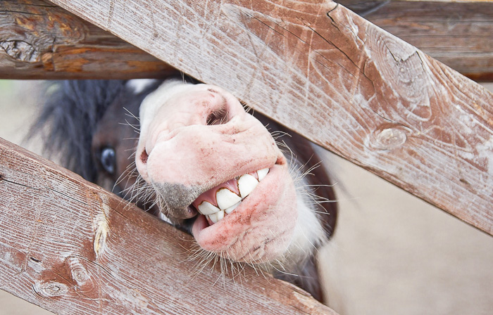 horse or pony showing teeth through fence gate
