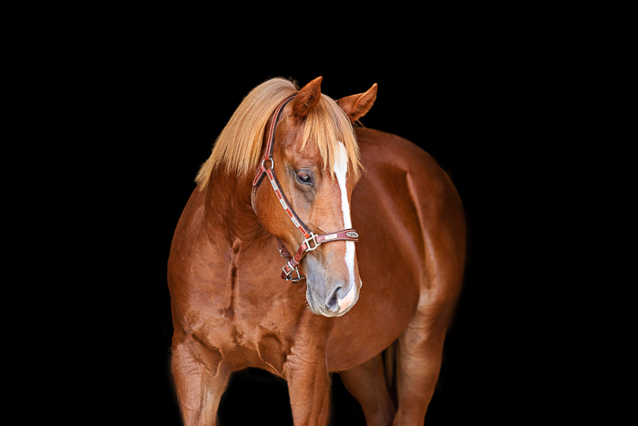 sorrel chestnut horse in black aisleway of barn
