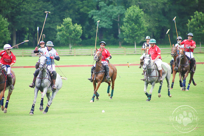 front view of polo ponies riding toward camera